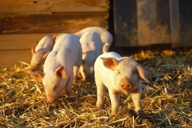 吃猪肉还能治病?美基因编辑猪首次实现食用和医疗双重用途